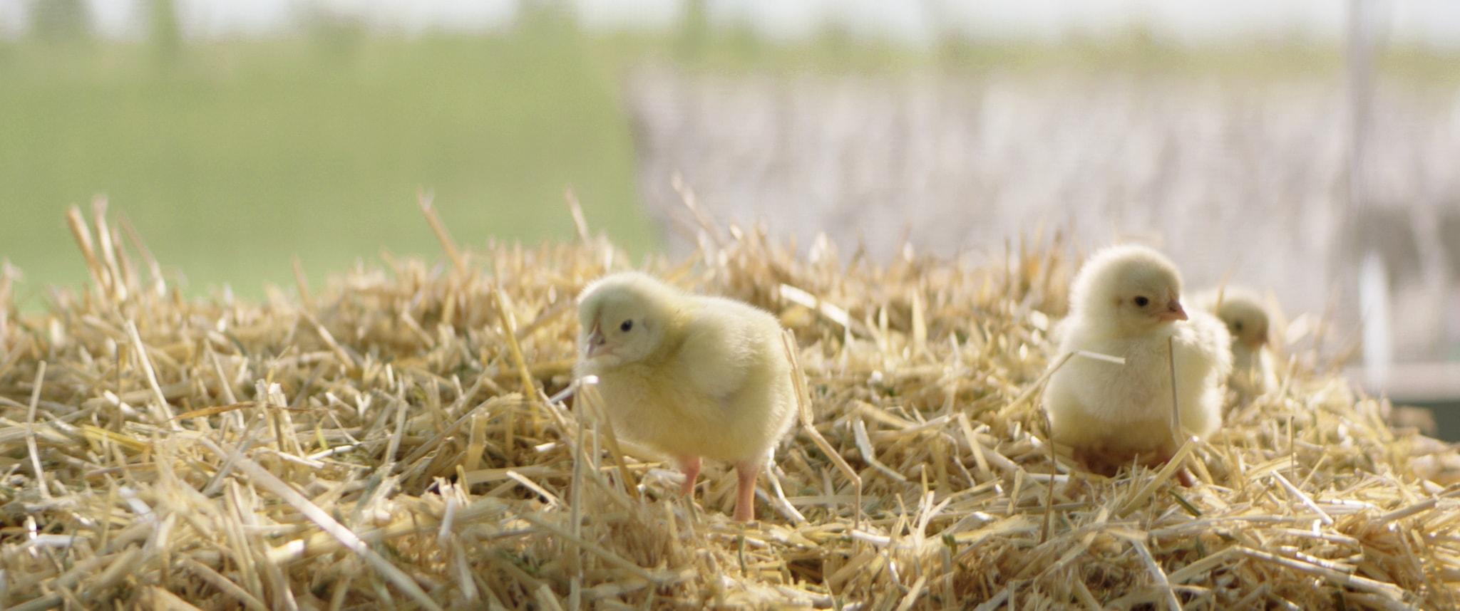 Kylling på grusvej